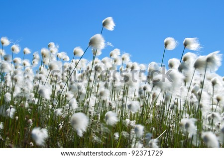 Cotton grass in the wind