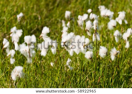 Cotton Grass on a meadow