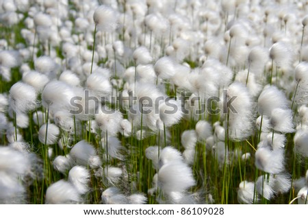 Cotton Grass. Windy weather. Russia, Western Siberia