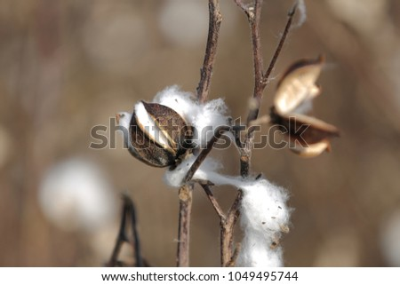 Cotton harvest in the field #1049495744
