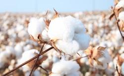 Cotton in a cotton field near Frost, Texas