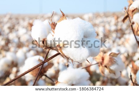 Cotton in a cotton field near Frost, Texas