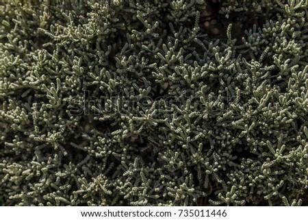 Cotton lavender bush dense growing plant closeup from above