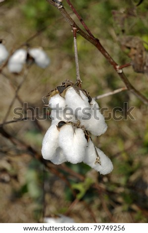 Cotton Outdoor Day Plant Field