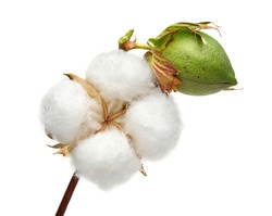 Cotton plant and green cotton boll isolated on white background