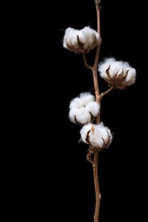 Cotton plant branch isolated on the black background