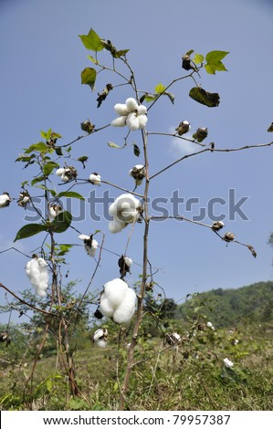 Cotton Plant Farm Outdoor Thailand