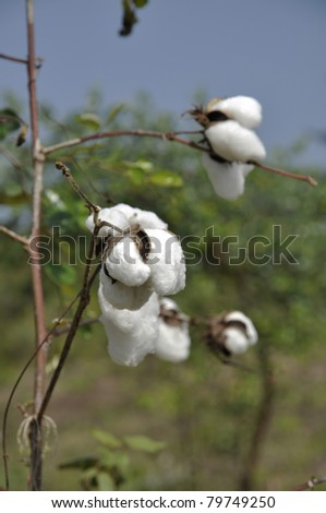 Cotton Plant Field Outdoor Day