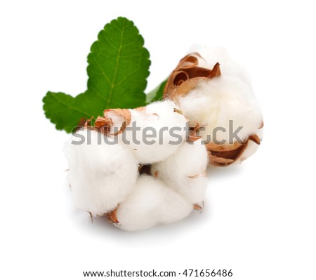 Cotton plant isolated on white background.