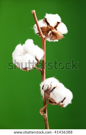 Cotton plant isolated over a green background