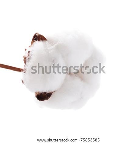 Cotton plant on white background