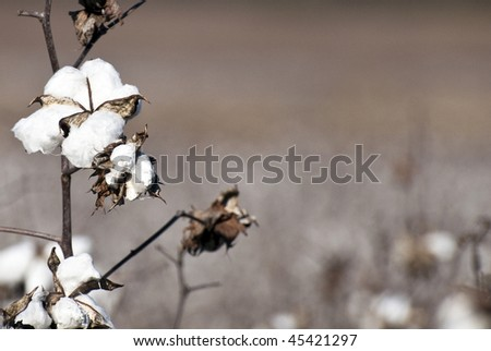 Cotton plants growing in a cotton field