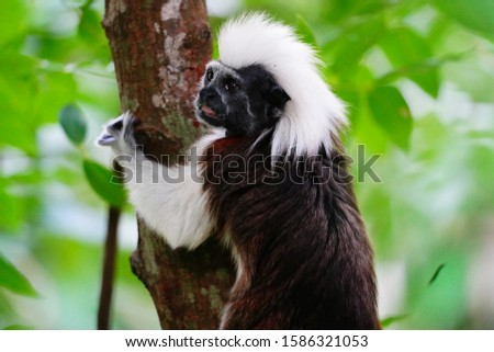 Cotton-top Tamarin (Saguinus oedipus) is one of the rarest and smallest primates. At 0.5 kg, the sophisticated New World Monkey is critically endangered from habitat loss (95%), with 6000 in the wild.