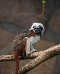 cotton-top tamarin, Saguinus oedipus - small New World monkey  sits on a branch. Denizen   tropical forest edges and secondary forests in northwestern Colombia.