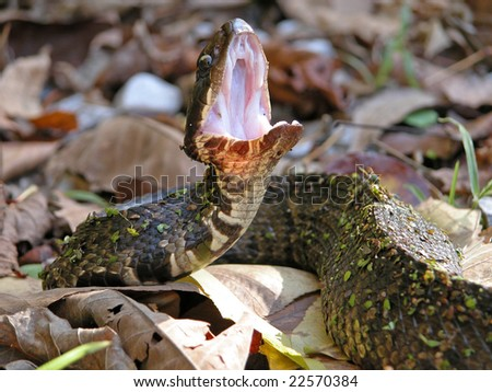 """Cottonmouth in a defensive situation displaying his """"cotton-white interior""""."""