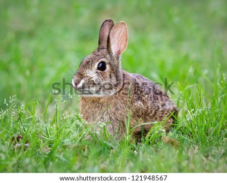 Cottontail Bunnies