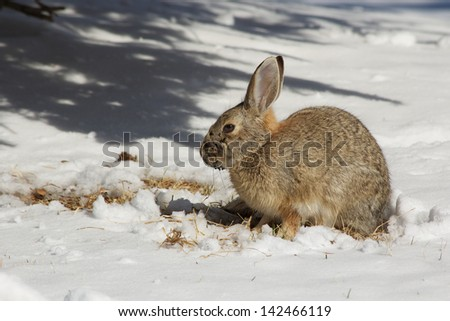 Cottontail in Winter Cottontail rabbit searching food under the snow covered ground.  There is a little mud on the  Cottontails face.  The background and foreground is snow covered grass.