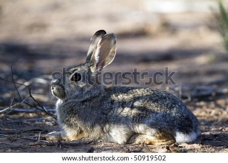 Cottontail rabbit baby awaits its mother in the desert shade