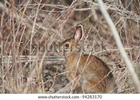 Cottontail Rabbit in Manitoba