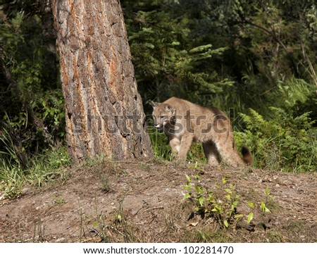 stock photo cougar checking out a tree 102281470