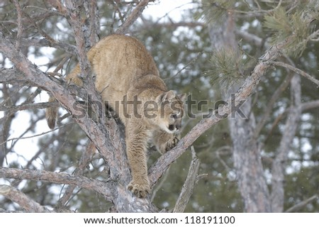 Cougar climbing in tree. Winter in Northern Minnesota