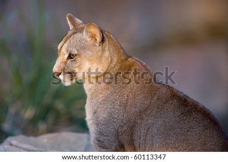 Cougar close-up - Puma concolor