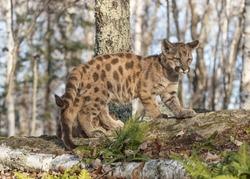 Cougar cub in Minnesota forest