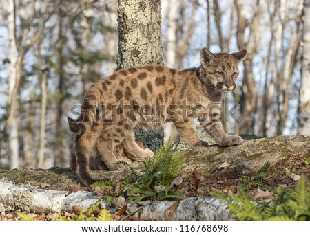 Cougar cub in Minnesota forest