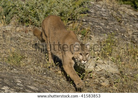 Cougar (felis concolor or puma concolor) stalking its prey in western United States.  Also known as a mountain lion or puma.