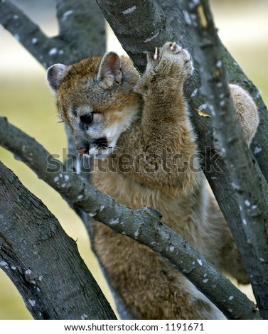 Cougar (Felis Concolor) Stuck in a Tree