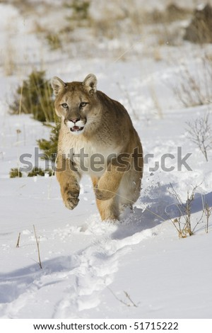 Cougar (Felis concolor), Winter, Captive, Montana