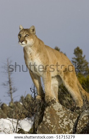 Cougar (Felis concolor), Winter, Captive, Montana - stock photo