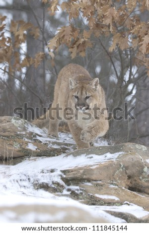 Cougar hunting in woods,light snowfall - stock photo