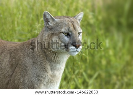 Cougar in profile. Photographed in Northern Minnesota