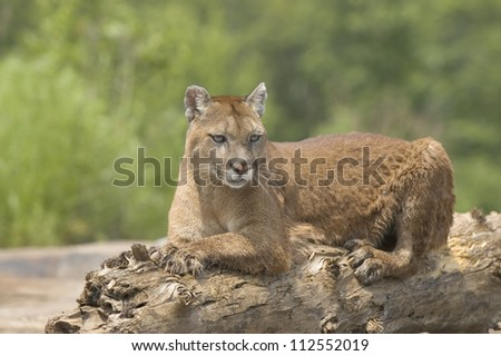 Cougar lying on log