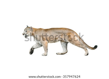 cougar male walking, isolated over a white background