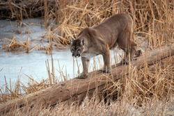 COUGAR MOUNTAIN LION PANTHER  Cougar also called Mountain Lion,  Panther or Puma crossing a log at a frozen pond in winter Colorado USA