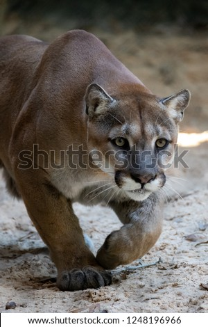 Cougar Pretending to Hunt