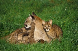 Cougar, puma concolor, Female with Cub laying on Grass