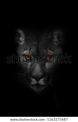 Cougar (Puma concolor), puma, mountain lion, panther, or catamount. Very dangerouse close up black and white portrait
