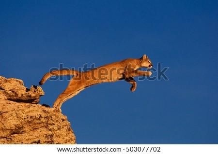 Cougar take off