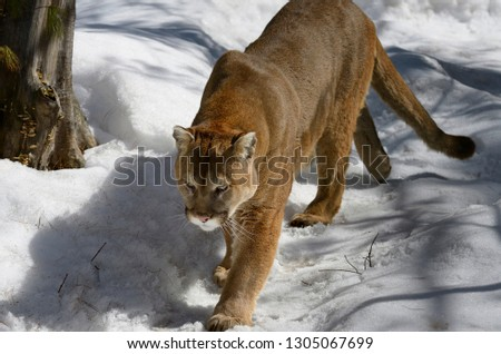 Cougar walking on a snowy forest trail in winter