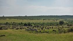 Countless herds of herbivores in the African savanna. Wildebeest and zebras graze on the green grass. The Great migration of animals in Kenya. Maasai Mara Park