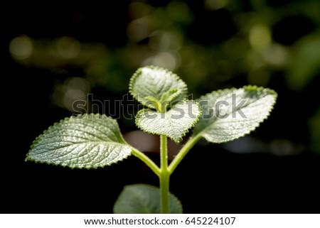 Country Borage, Indian Borage, Oreille, Oregano cuban oregano (Plectranthus amboinicus) tree and herbs have medicinal properties #645224107