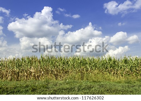 Country corn field against blue sky