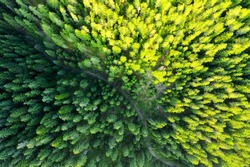 Country country road in the forest. Aerial view of evergreen trees, texture of the top of the tree. Beautiful green spruce forest from top to bottom drone. Forest, pines aerial view