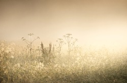 Country field in a fog at sunrise. Plants close-up. Soft sunlight, golden hour. Idyllic rural scene.