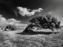 Country field with secular Sardinian oaks bent by the wind. Trees bent by the wind.