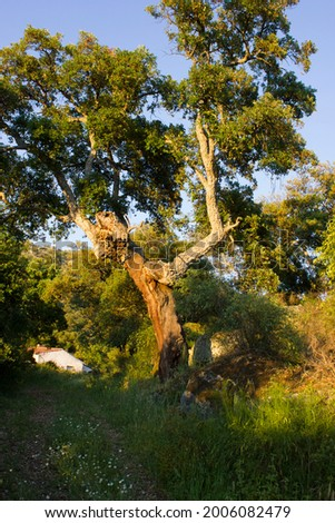 Country landscape with an uncorked cork oak in the foreground and a white house in the background at sunset in the region of Extremadura, Spain. Concept of beautiful nature. Organic farming. Stock photo ©