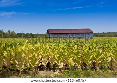 Country landscape with barn and tobacco plants field.